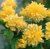 Керрия японская Pleniflora C2