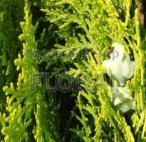Купрессоципарис Лейланда. Шпалера. Высота  130/140 см