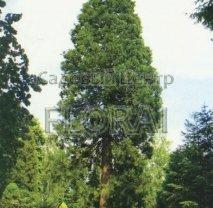 Секвойя гигантская 150 см