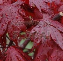 Клен пальмолистный  (Acer palmatum)  Fire Glow  Extra. Высота 1,5-1,75 м