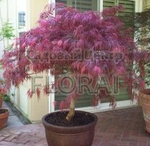 Клен пальмолистный  (Acer palmatum)  Diss Garnet на среднем штамбе. Высота 06-0,8 м