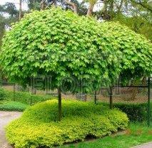 Клен остролистный (platanoides) Globosum. Обхват ствола 8-10 Cм