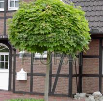 Клен остролистный (Acer platanoides) Globosum. Обхват 8-10 Cм