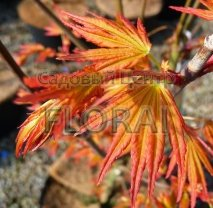 Клен пальмолистный  (Acer palmatum)  Orange Dream. Высота 1,25-1,5 м