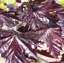 Клен остролистный (Acer platanoides) Purple Globe. Высота 1,75-2 м