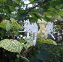 Жимолость Aureoreticulata АКЦИЯ