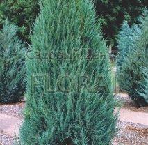 Можжевельник скальный (scopulorum)  Blue Arrow. Высота 70см. С2