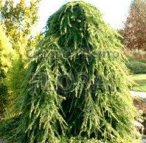 Кедр Гималайский (deodara) Pendula. Высота 200/250 Cм