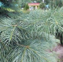 Пихта  Concolor Glauca. Высота  150/175 Cм