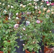 Роза кустовая, конт. С6. Италия