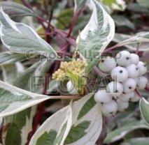 Дерен белый (alba) Elegantissima С2