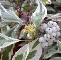 Дерен белый (alba) Elegantissima C9