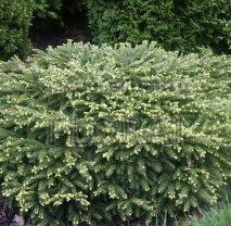 Ель обыкновенная  Nidiformis, высота 160-180 см, С54