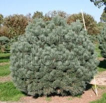 Сосна обыкновенная Watereri. Высота 90 см. Форма шар.