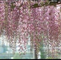 Глициния обильноцветущая (floribunda) Pink Ice 150/175 C