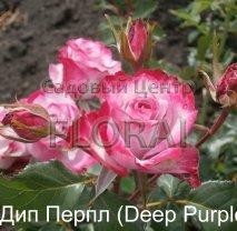 Роза кустовая Deep Purple в контейнере с ЗКС