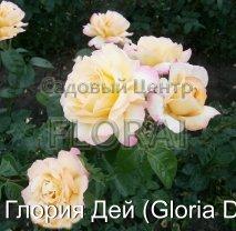 Роза кустовая Gloria Dei в контейнере с ЗКС