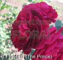 Роза кустовая английская The Prince в контейнере с ЗКС
