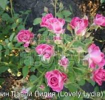 Роза спрей Lovely Lydia в контейнере с ЗКС