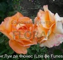 Роза кустовая английская  Lois de Funes в контейнере с ЗКС