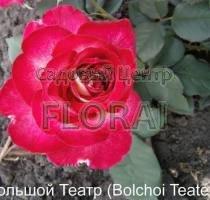 Роза кустовая английская  Bolchoi Teater в контейнере с ЗКС