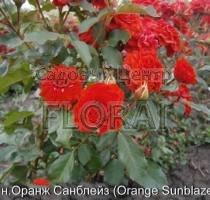 Роза спрей Orange Sunblaze в контейнере с ЗКС