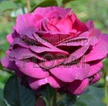 Роза куст Big Purple, С