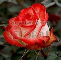 Роза куст Blush, С