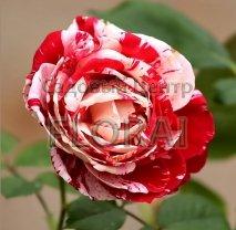 Роза Sentimental на  штамбе