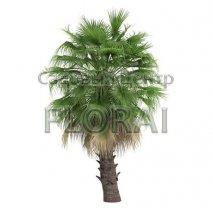 Сабаль пальмовидный С110