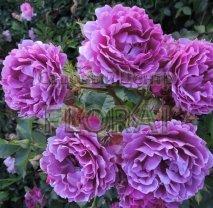 Роза 2 штамба в сортах