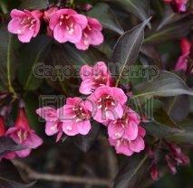 Вейгела цветущая (florida) Alexandra С2