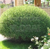 Ива пурпурная (Salix Purpurea) Nana