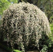 Роза banksiae белая 150/175 С5