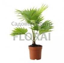 Ливистона Rotundifolia 45/12
