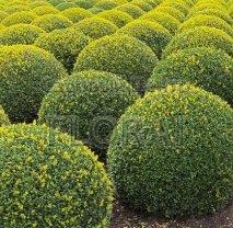 Самшит вечнозеленый (buxus sempervirens). Шар  30/40 Cм
