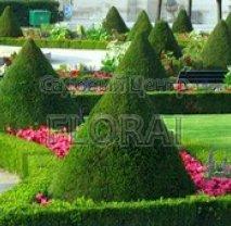 Самшит вечнозеленый. Форма конус 100/120 Cм
