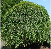 Береза черная (nigra) Summer Cascade. Высота 220 См