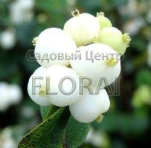 Снежноягодник White Hedge С2