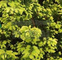 Тис ягодный (baccata)  Summergold. Высота 120/130 См