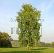 Береза повислая (Pendula) белая многоствольная. Высота 270 см