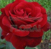 Роза кустовая английская  Editg Piaf в контейнере с ЗКС