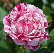 Роза куст англ Ferdinand Pichard, С