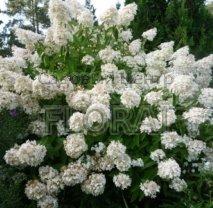 Гортензия метельчатая  / Паникулата Grandiflora С3