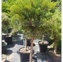 Можжевельник казацкий (Juniperus sabina) Tamariscifolia  на среднем штамбе