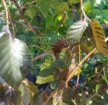 Бук sylvatica Purpurea pendula, высота 300/350 см