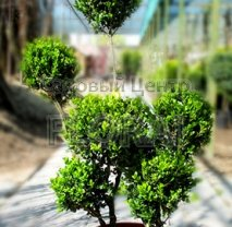 Самшит  мелколистный (Buxus microphylla) Foulkner. Ponpon. Высота 135 см