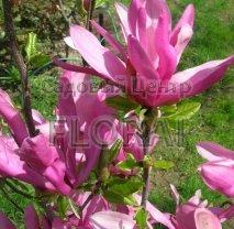Магнолия Суланжа (Magnolia soulangiana) Susan. Высота 0,8-1 м