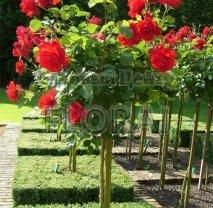 Роза Cristiforo Colombo на штамбе