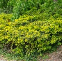 Тис ягодный 'Repandens Aurea'. Высота 20/30 см. Контейнер С2